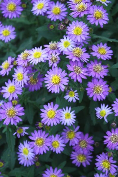 Aster Ageratoides Ezo Murasaki Purple Flowers Garden Butterfly Garden Plants Plants