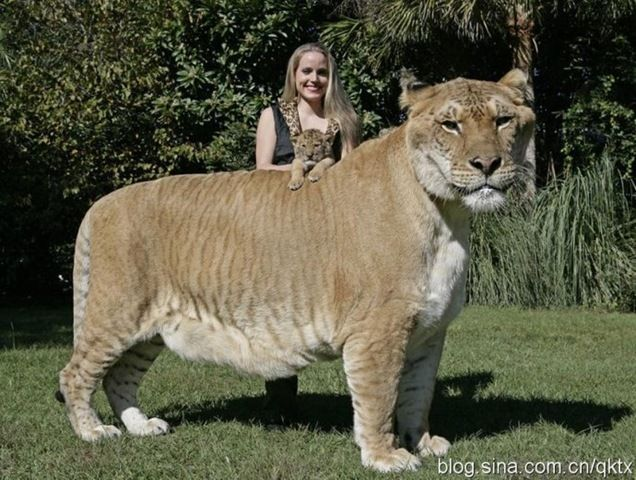 Merveilleux Worldu0027s Biggest Cat Is Called A Liger ! Cross Breed Of Tiger And Lion 900  Pounds, 6 Feet Tall And 12 Feet Long Liger Who Holds The Guinness World  Record For ...
