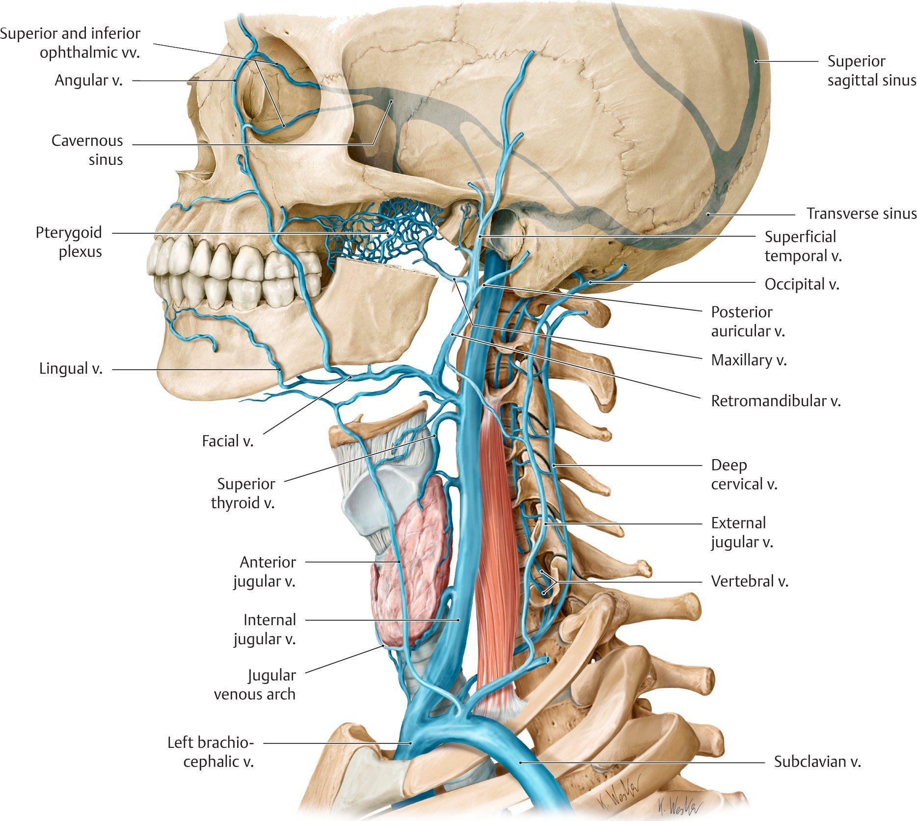 תוצאת תמונה עבור anterior jugular vein | Anatomy | Pinterest ...