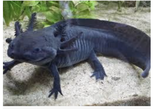 Pin By Happy Hufflepuff On Axolotls In 2020 Axolotl Pet