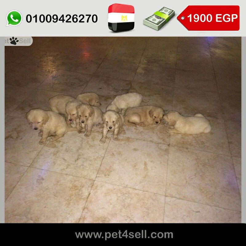 Egypt Cairo Pure Golden Retriever Puppies For Sale 45 Days One Male And Six Females Pet4sell Retriever Puppy Golden Retriever Puppies