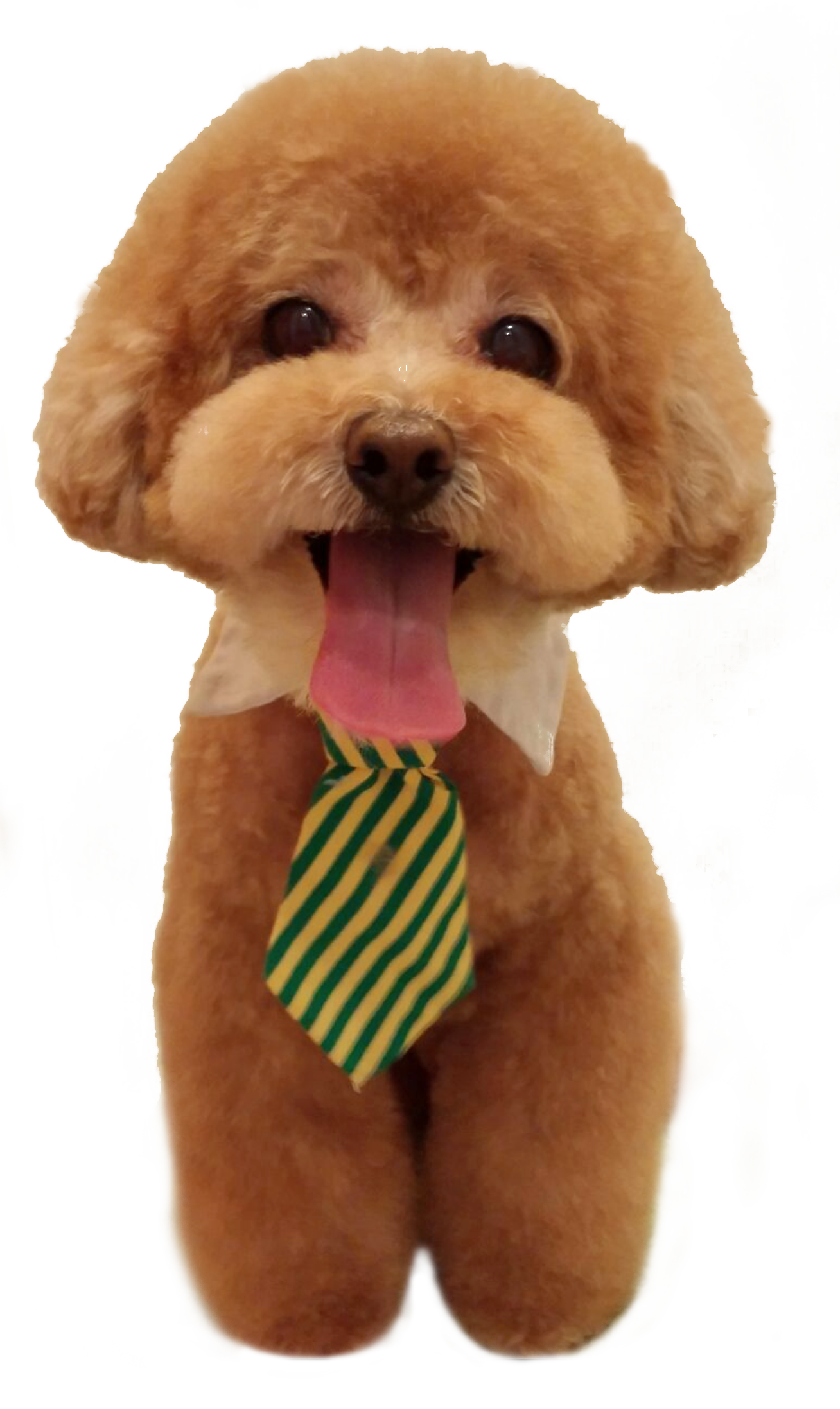 Image result for teddy bear dog haircuts Four Legs