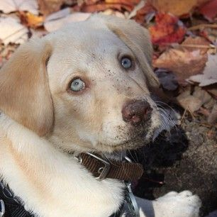 Yellow lab with blue eyes | Cute puppies, Dudley labrador ...