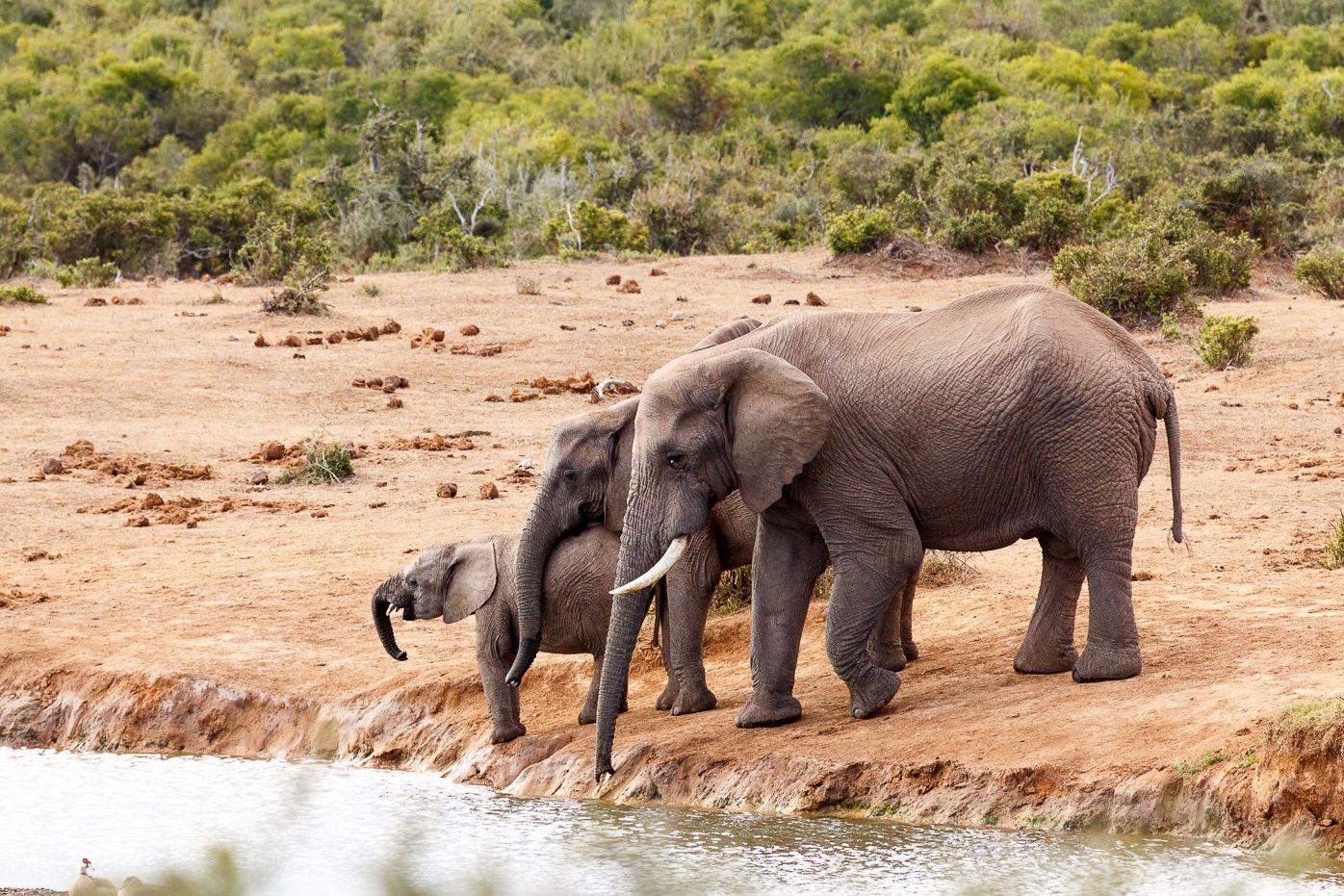 African Bush Elephants loving family gathering African Bush Elephants loving family gathering at the watering hole.