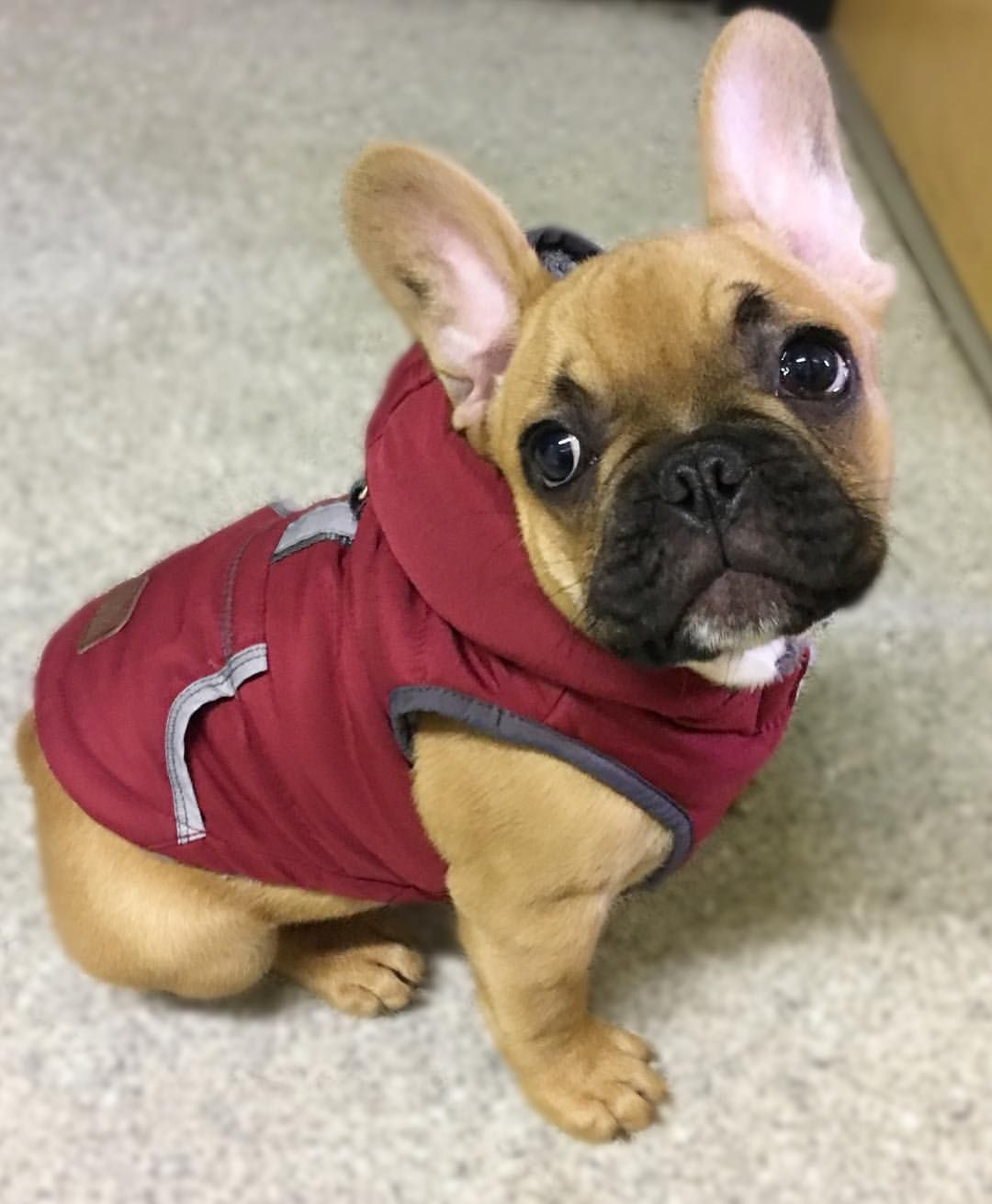 French Bulldog Puppy Almost Seems Like Somewhere Between A Fawn