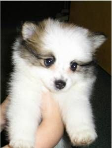 Dog Profile For Phoebe A Female Pomeranian American Eskimo Dog