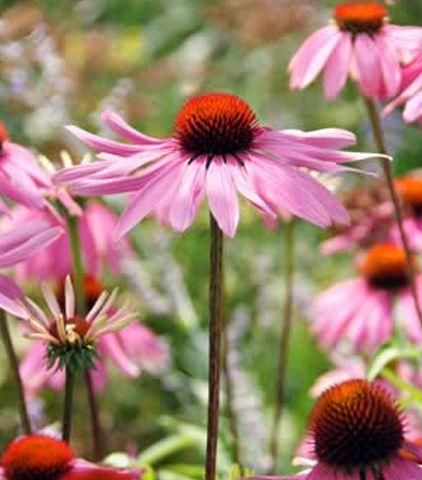 Voorkeur onderhoudsarme vaste planten voor je tuin   Zonnehoed Bloeit zeer  GC87