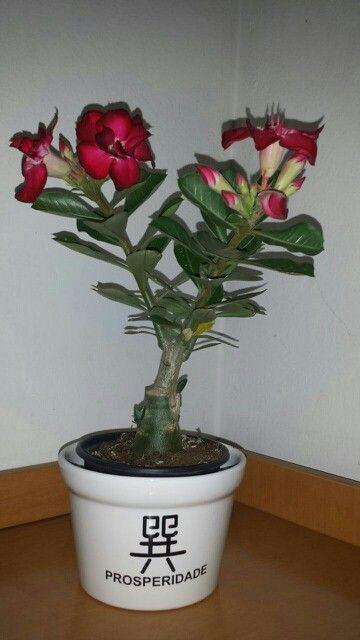 Rosa do deserto flor vermelha. Minha coleção