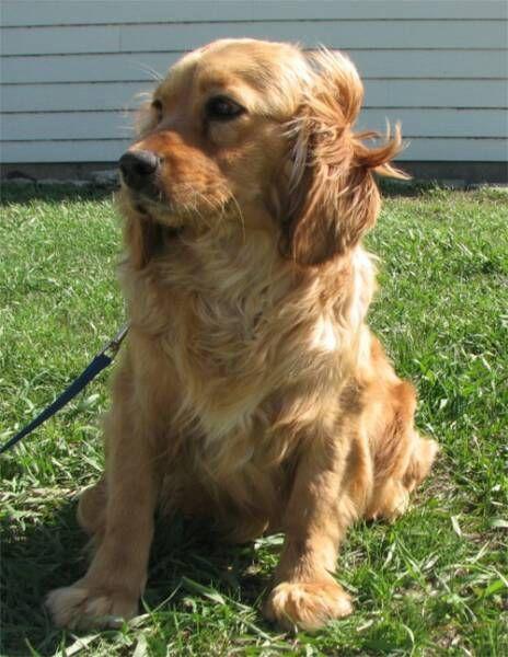 Newark De Cocker Spaniel Labrador Retriever Mix Meet Mack A Puppy For Adoption Cocker Spaniel Cocker Spaniel Mix Puppy Adoption