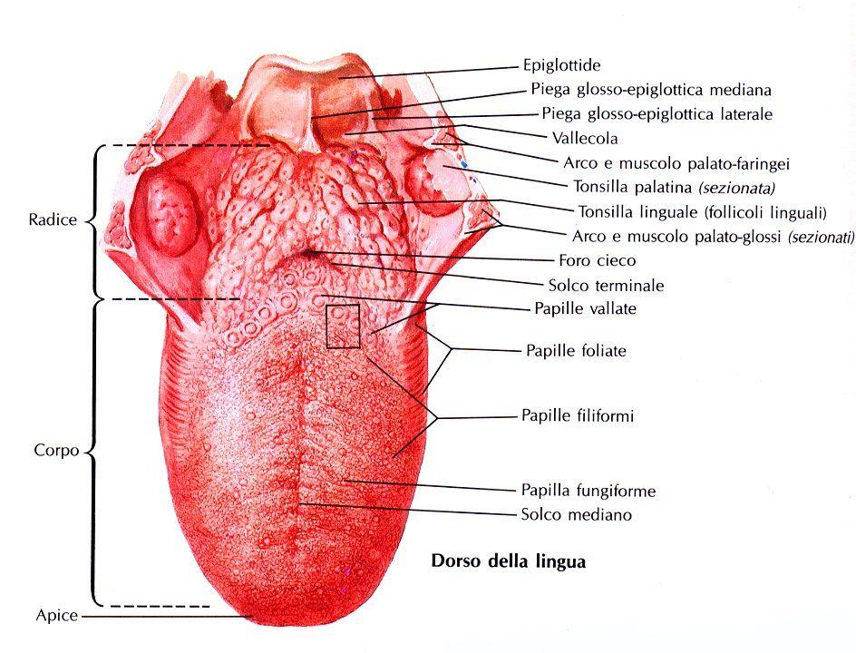 tongue anatomy enfermagem pinterest anatomy rh pinterest com Human Ear Anatomy Diagram Human Ear Anatomy Diagram