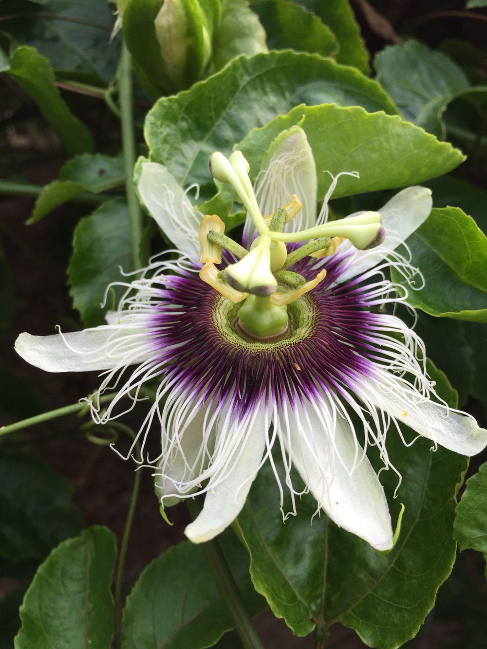 Passionfruit blossom Passion fruit flower, Passion fruit