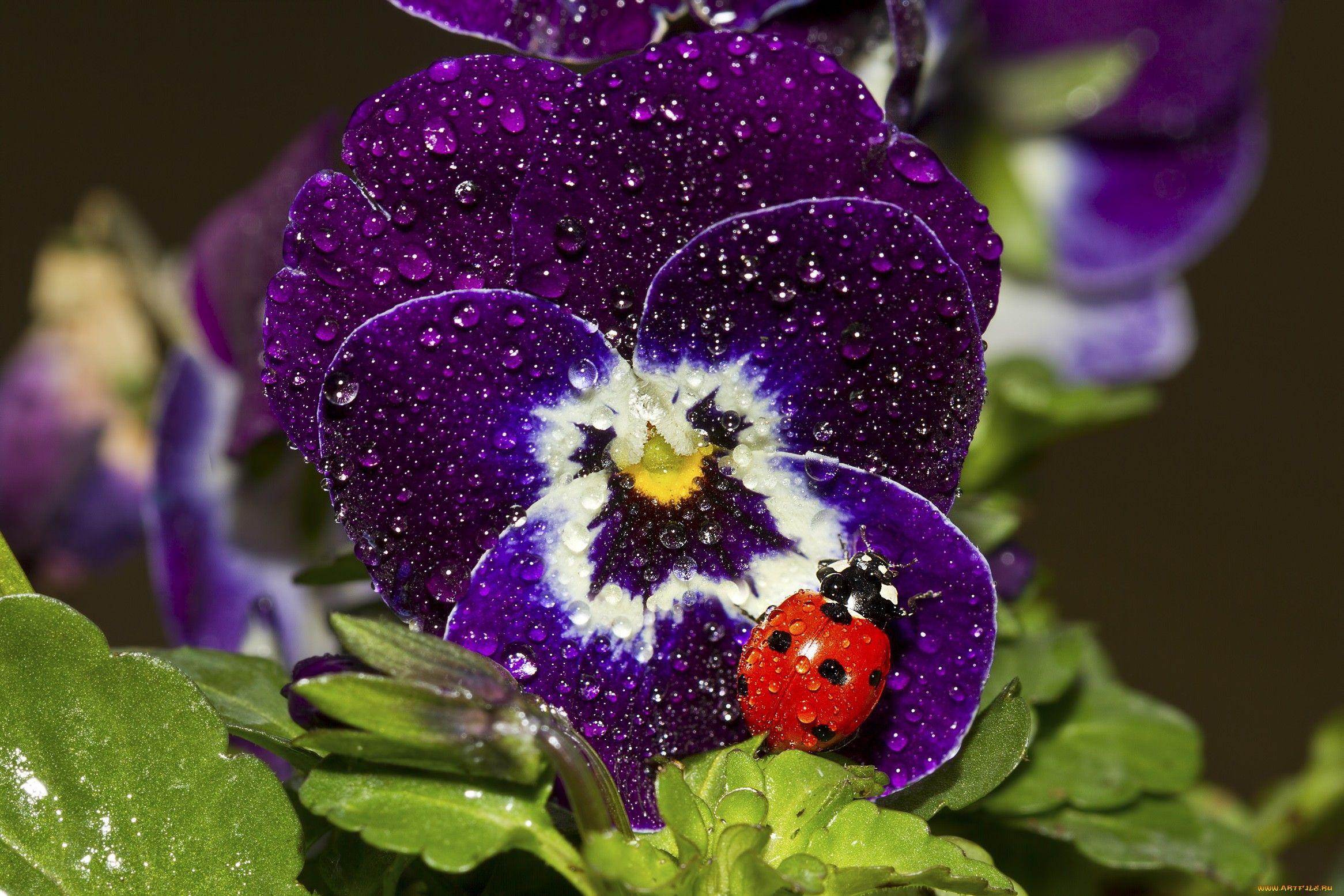 Обои цветы, анютины глазки. Цветы foto 15