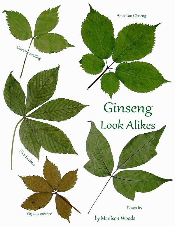 Plants That Look Like Ginseng Ginseng Look Alikes With Images