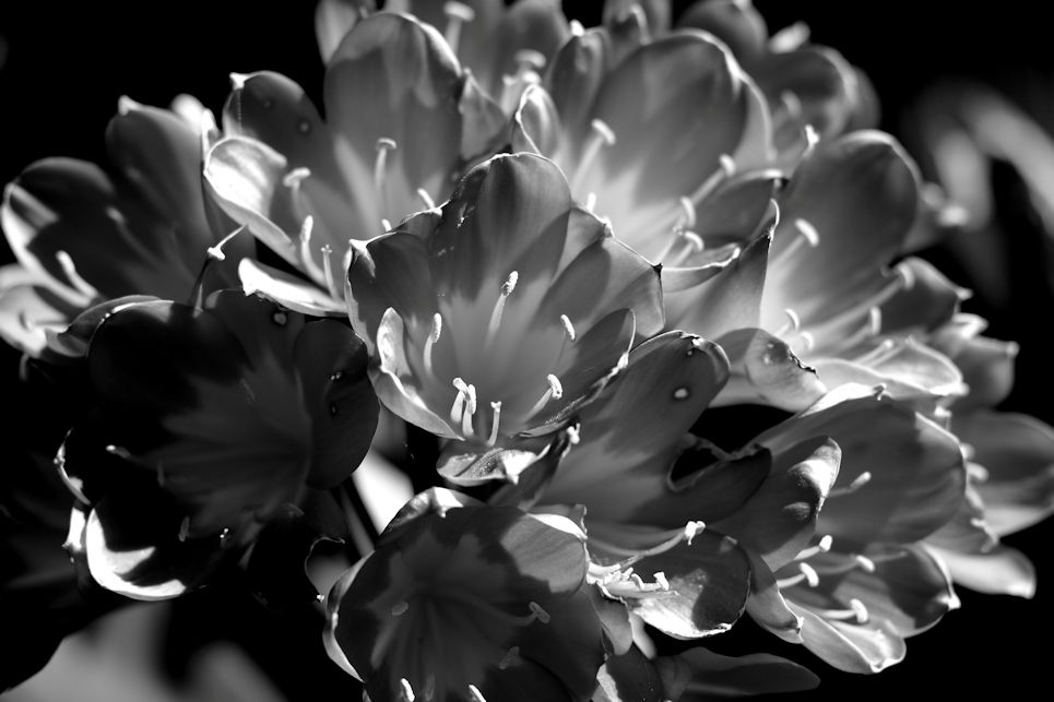 Famous Black And White Flower Photographers