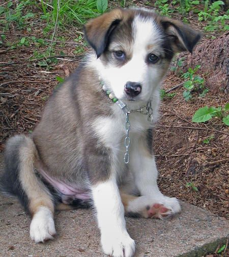 Sophie the Husky Mix | Animals | Pinterest | Husky collie ...