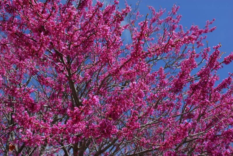 Texas Redbud.  Looks like it's on fire with pink flames!  Love it!