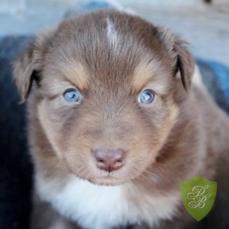 North Carolina Australian Shepherd Breeders Puppies Australian Shepherd Puppies For Sale