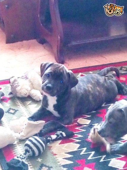 Staffordshire bull terriers (British) Dog breeds medium