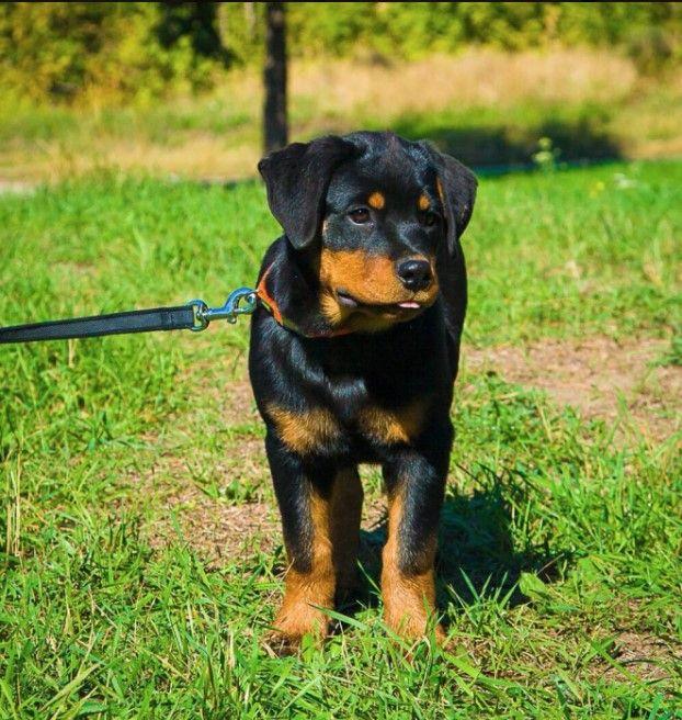 rottweiler dog names - 622×656