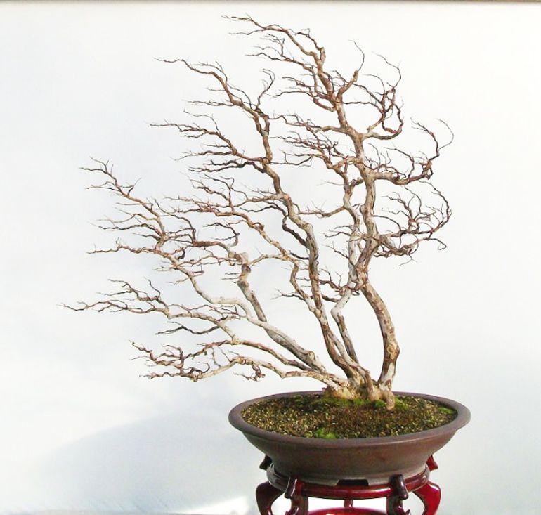 Staying On Theme New Nabf Website Bonsai Bark Bonsai Forest Bonsai Art Windswept Bonsai