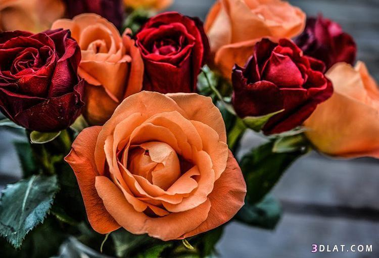 صور ورد طبيعى 2019 ورود الحب والرومانسية صور الورد الطبيعي 2019 Flowers Rose Peach Roses