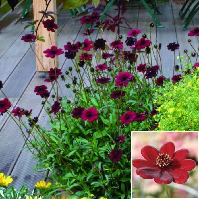 Chocolate Cosmos Choca Mocha These Are A Semi Hardy Perenial From The Cosmos Family Lovely Burgandy Color Tuin Ideeen Tuin Tuinieren
