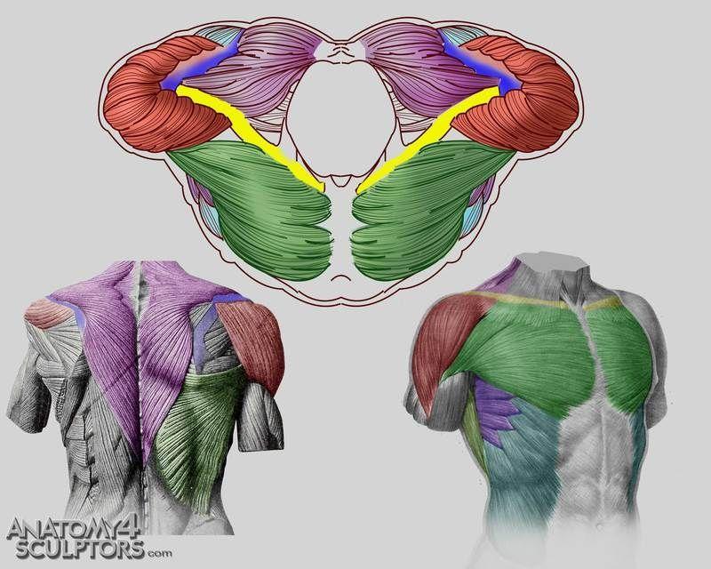 Músculos del torso | Anatomy | Pinterest | Anatomía, Músculos y ...