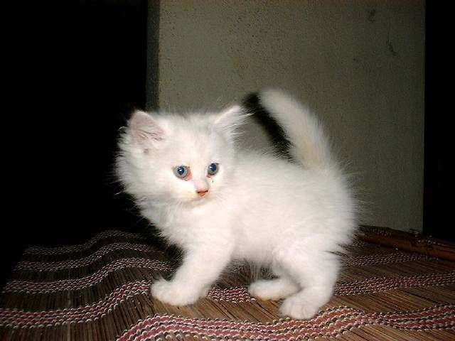 Cute Pure White Kitten For Sale For Sale Adoption From Kuala Lumpur Adpost Com Classifieds Black And White Kittens Cats And Kittens White Kittens For Sale