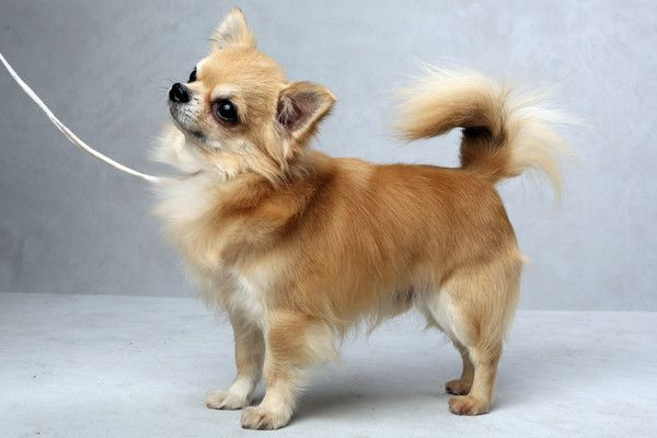 Westminster S Best Of Breed Westminster Dog Show Breeds Chihuahua
