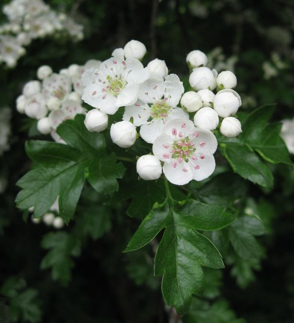 Hawthorn Plants Flower Essences Tree Lily