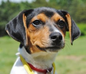 Adopt Wiggles On Rat Terrier Mix Adoptable Beagle Terrier Mix