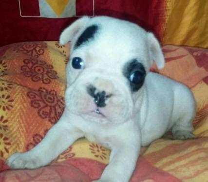 Franzosische Bulldoggen Welpen In Bayern Straubing Doggen Und Doggenwelpen Kaufen Ebay Kleinanzeigen Franzosische Bulldogge Bulldogge Welpen