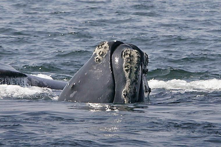 Fishon navy to limit sonar to protect whales endangered
