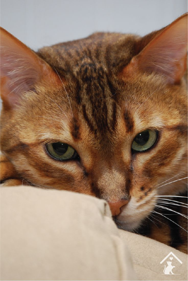 Bengal cats are cute and affectionate! Click the pin to