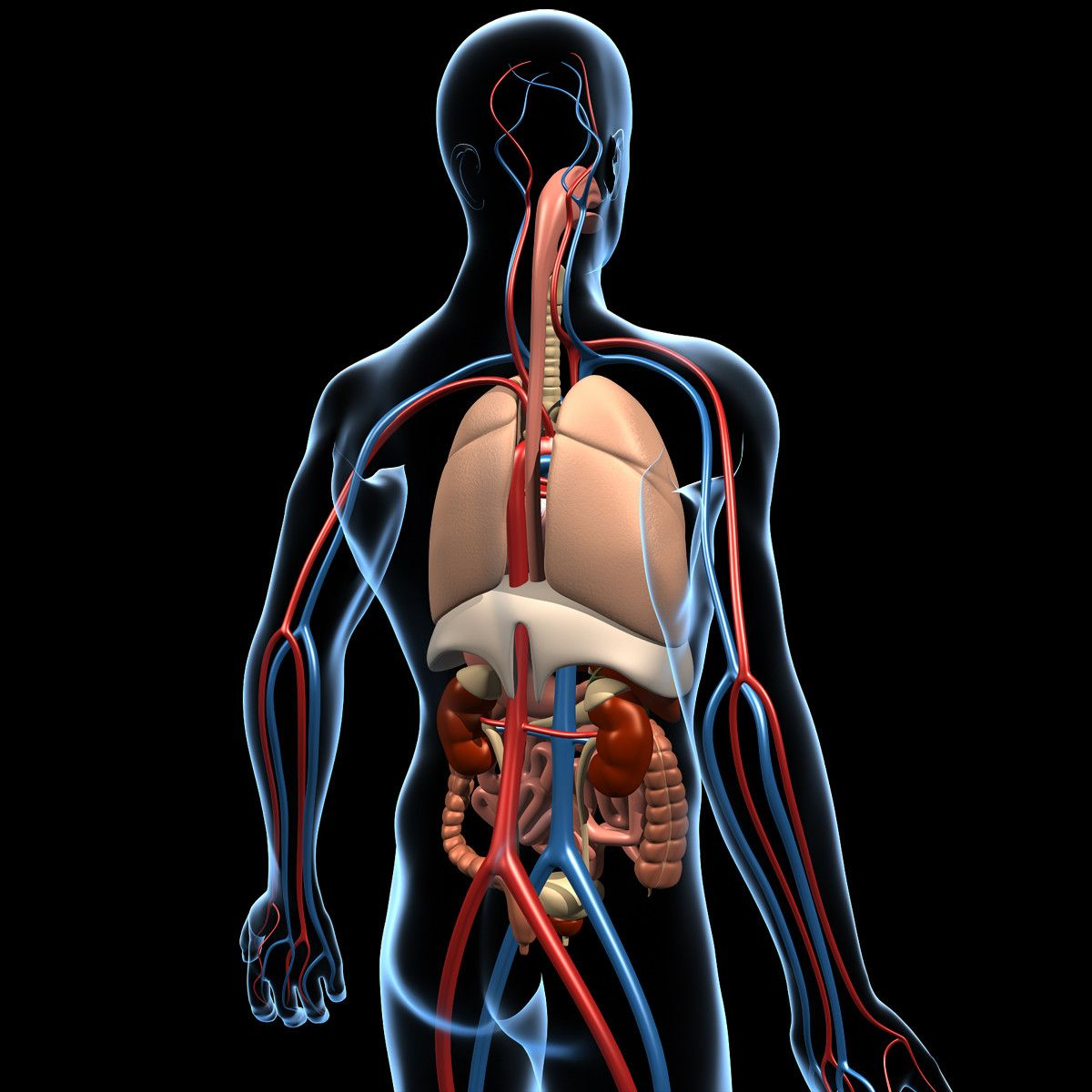 Human Anatomy 3d Model Pinterest Human Anatomy 3d And