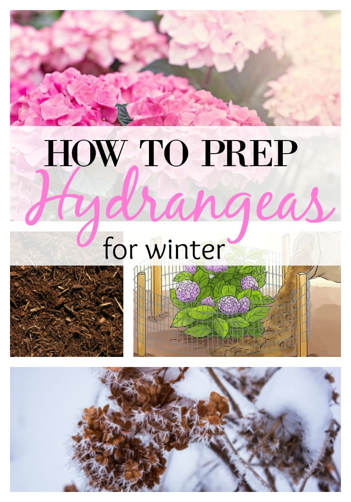 Hydrangeas-How To Prep For Winter Months In Only 6