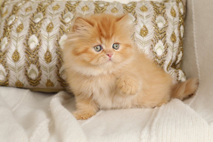 Twiggy - Bright Red Male Persian Kitten - Ready for Christmas!! #adorablekittens