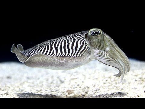 Kings Of Camouflage Hd Cuttle Fish Exclusive Cuttlefish Fish Underwater Life