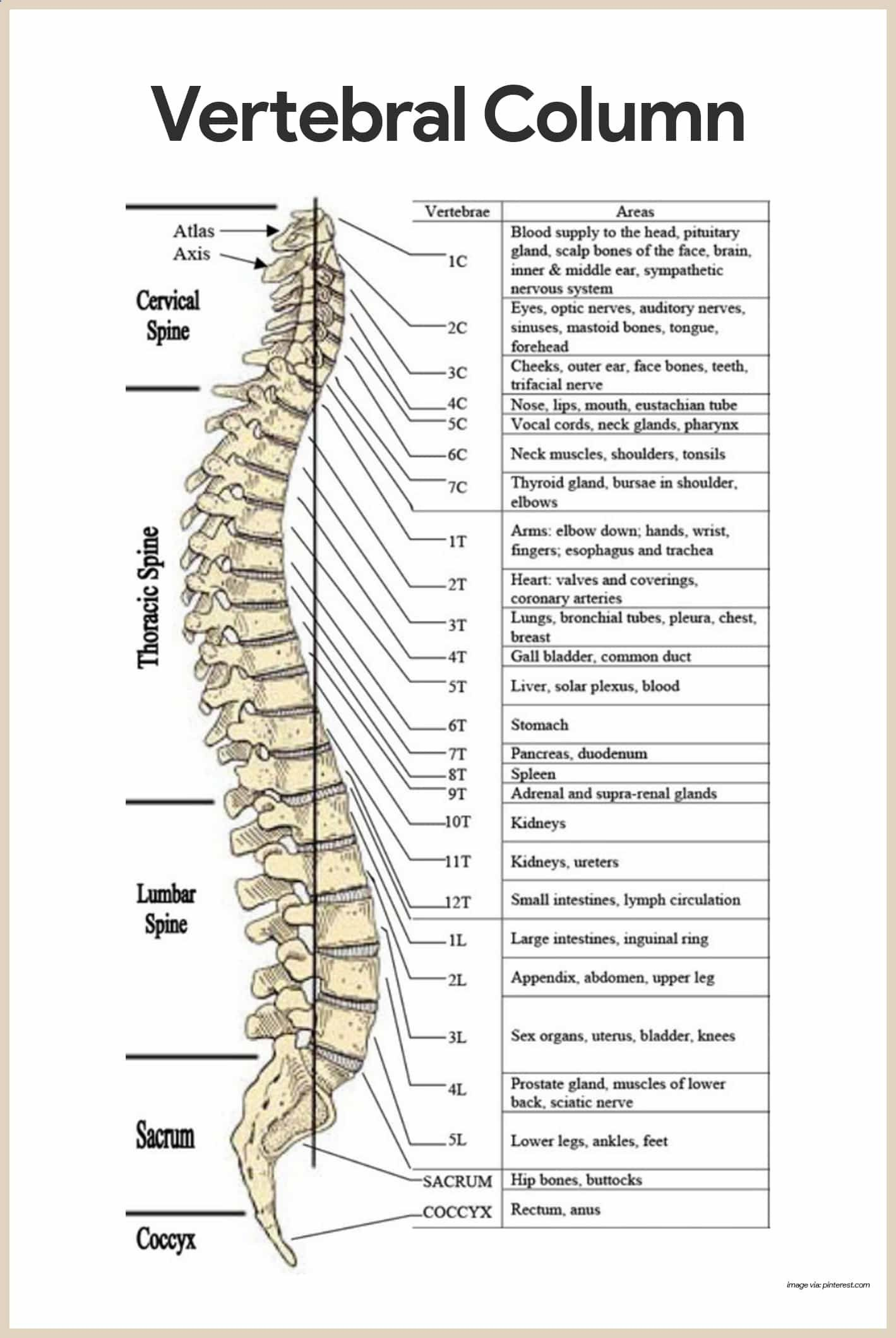 Vertebral Column Skeletal System Anatomy And Physiology