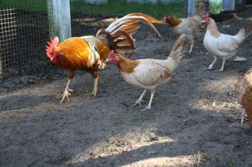 Pumpkin-Hulsey-Gamefowl-Hatching-Eggs | Gallos | Poultry supplies
