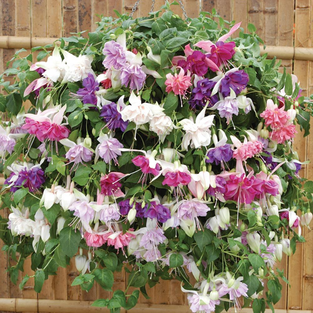 Fuchsia Variety In Hanging Basket Fuchsia Pinterest Flowers