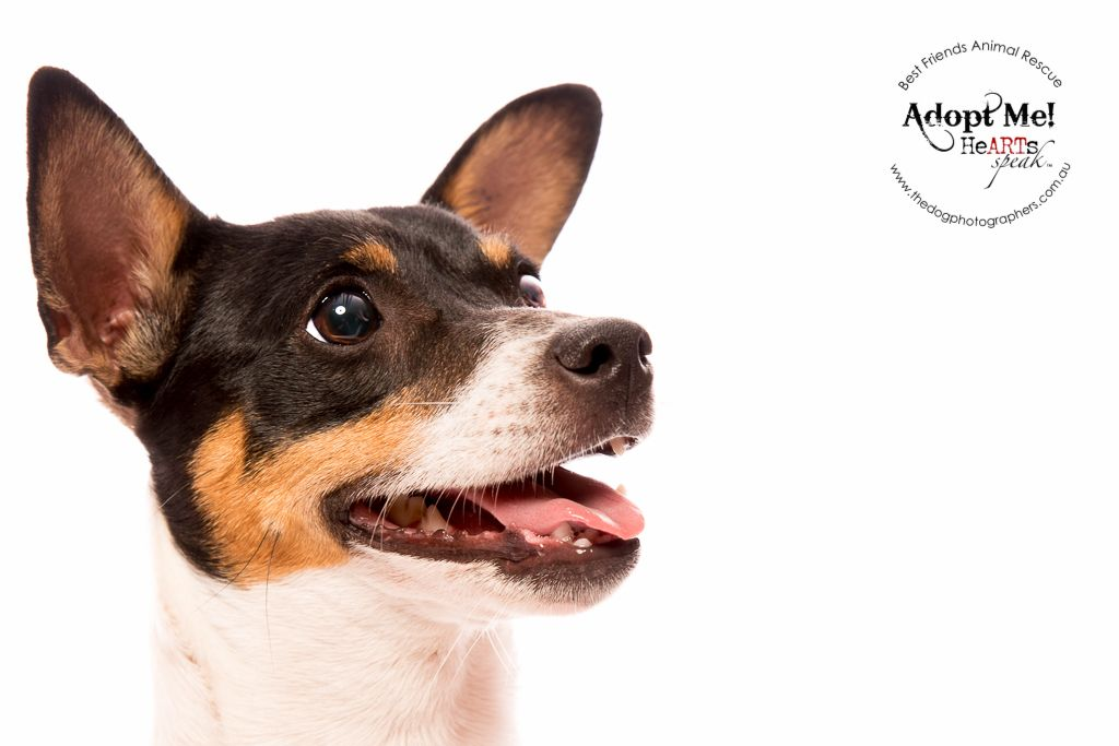 Dotti Jack Russell Http Thedogphotographers Com Au The Dog Photographers Perth Western Australia W Dog Photograph Dog Photography
