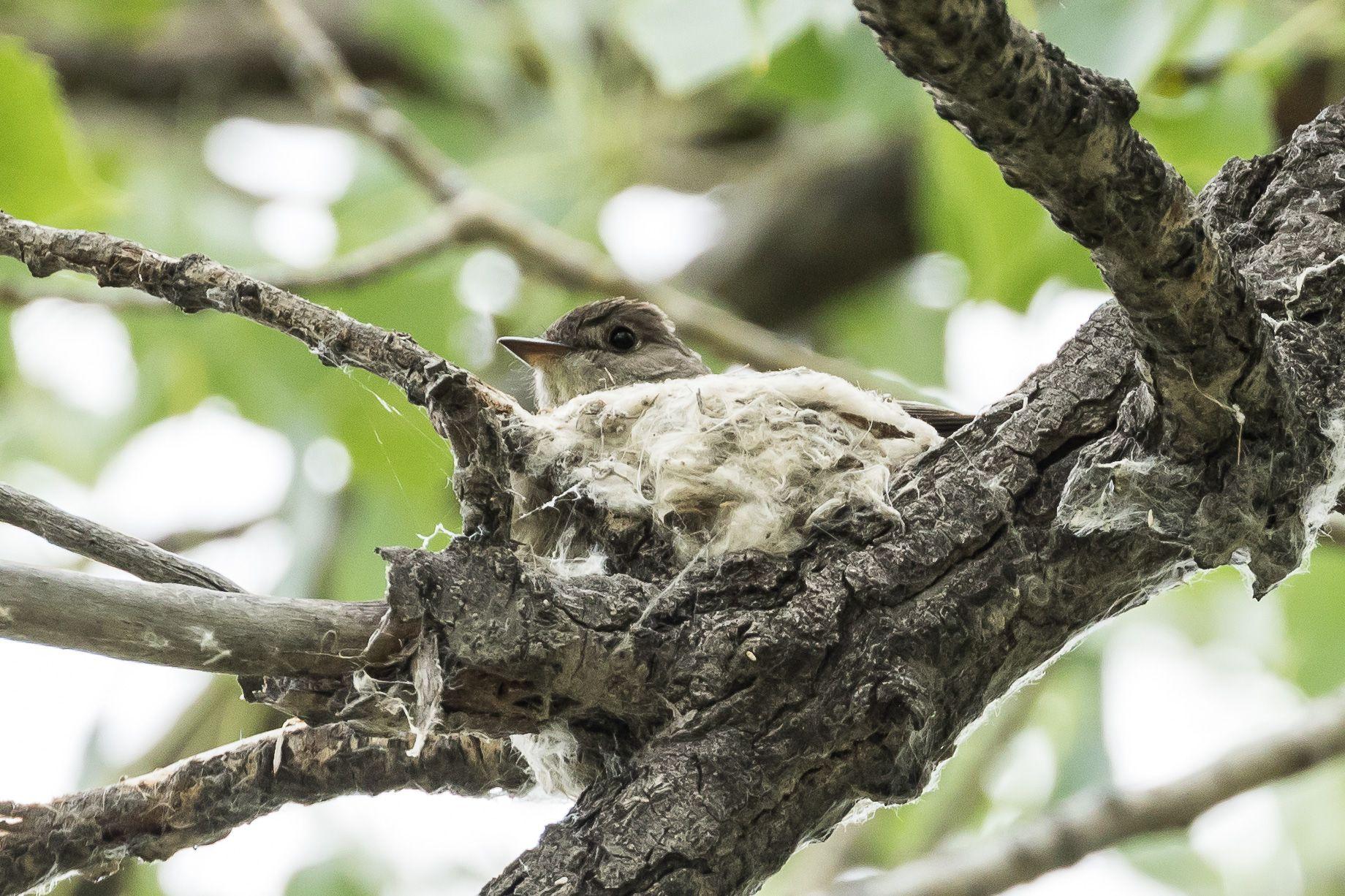 Western Wood Pewee Nest ©Neal Zaun Wild Bird pany Saturday