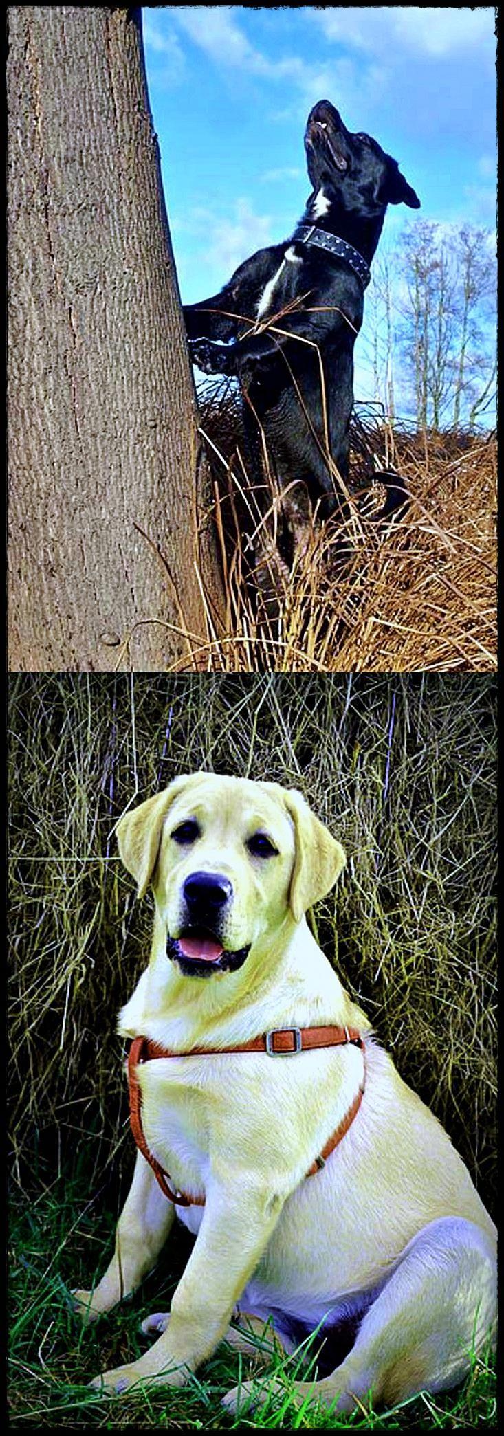 labrador puppies vancouver island Best