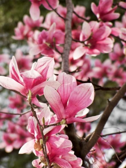 Flowering Trees Saucer Magnolia Tree Flowering Trees Magnolia Trees