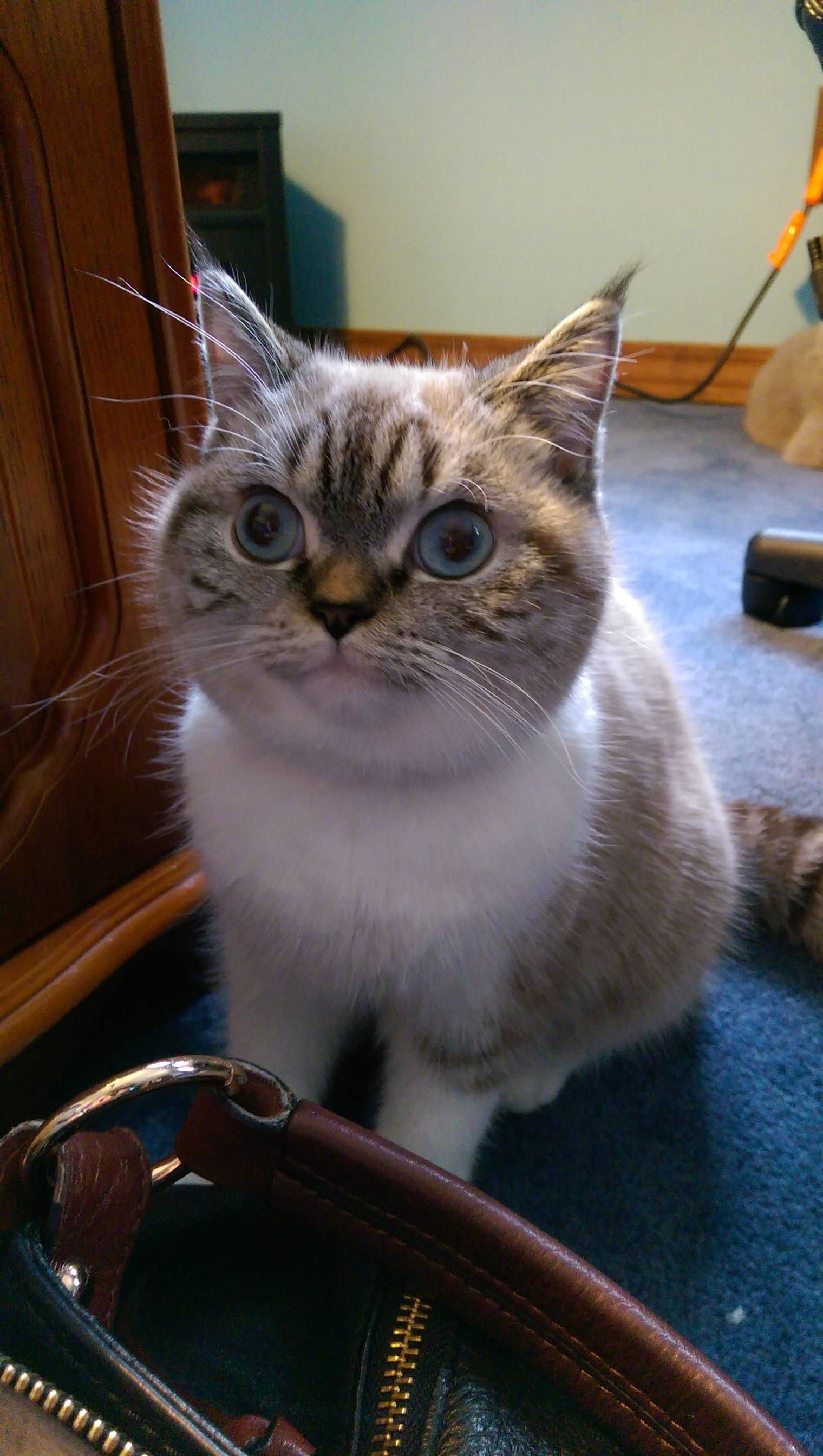 Super Cute Blue Eyed Creature Freightcenter Cute Animals Kittens Funny Cats Meow
