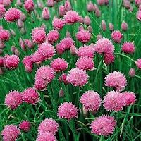Allium schoenoprasum - More than Just Chives