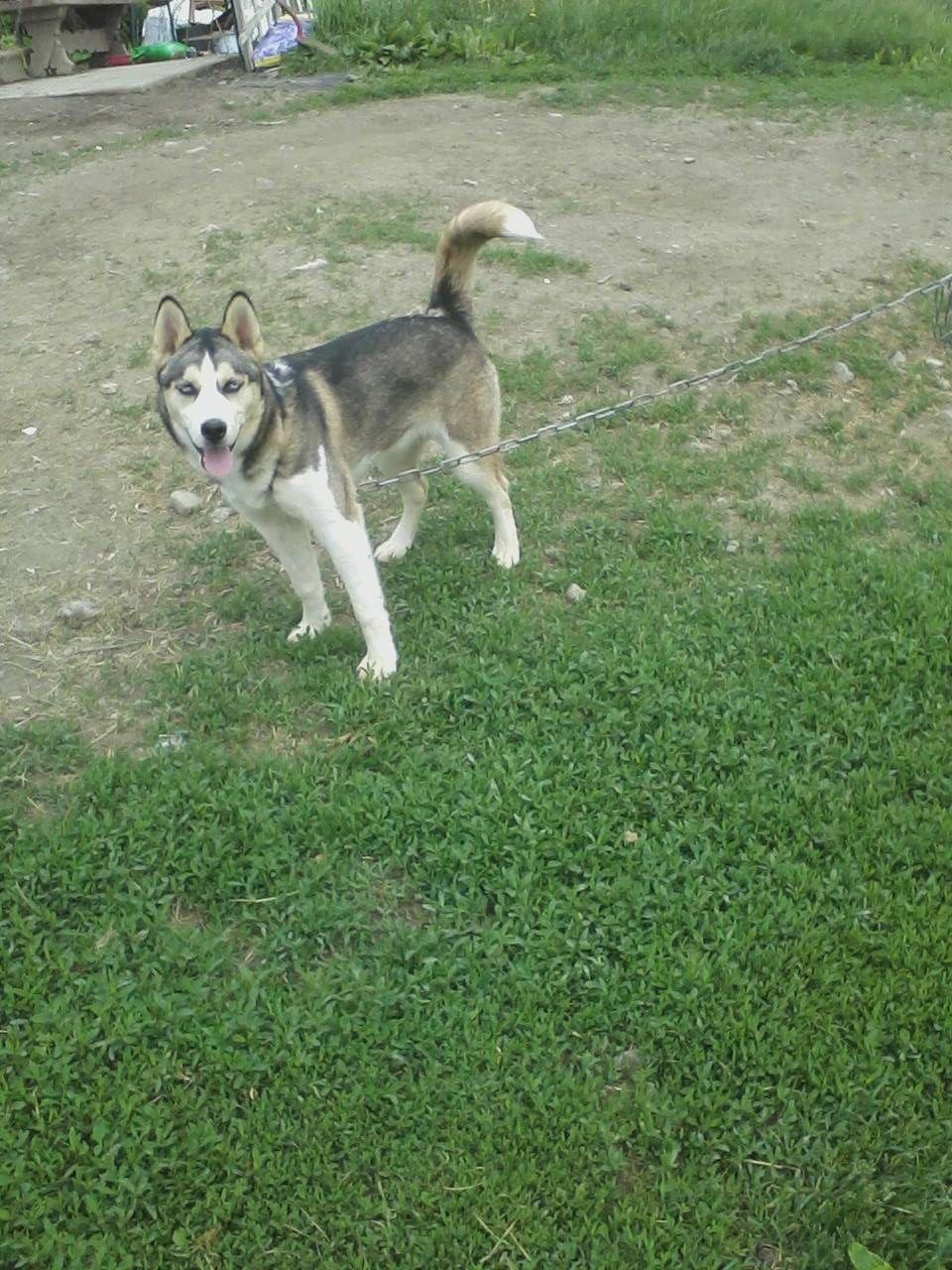 Akc siberian husky pups for sale dogs paper shop