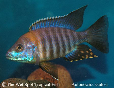 Aulonocara Saulosi Greenface Beautiful Tropical Fish Tropical Freshwater Fish African Cichlid Aquarium