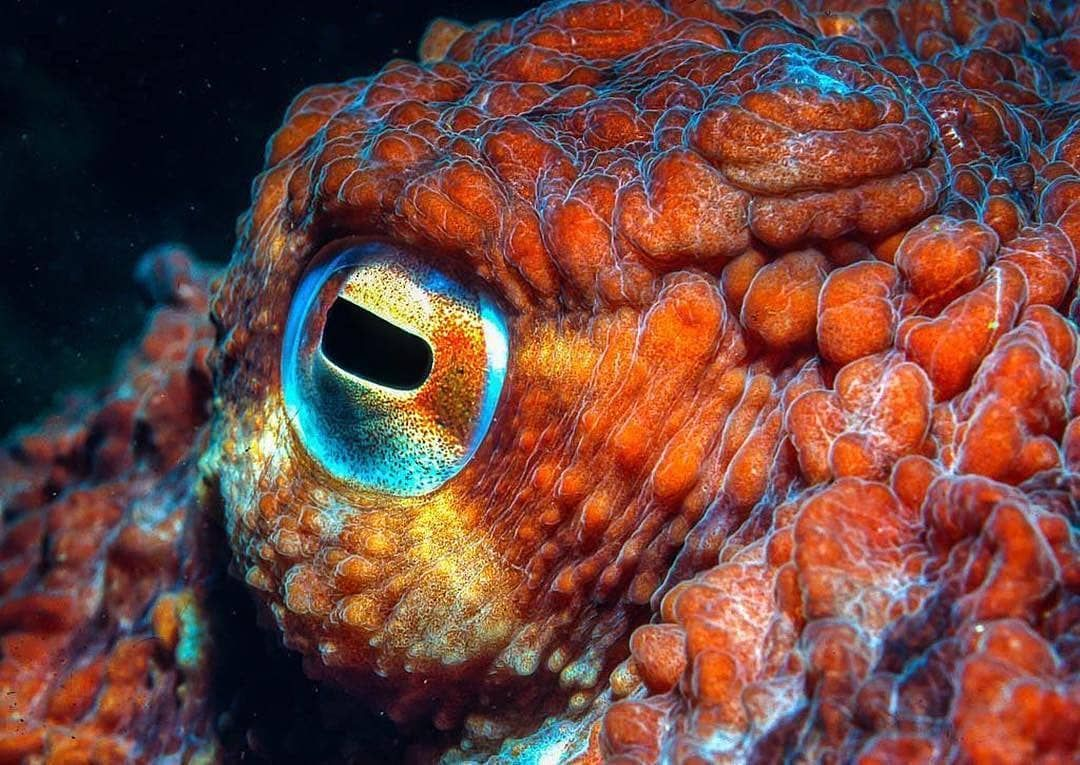 """Underwater World 🌊 on Instagram: """"⛔️ 8 Octopus Eye Facts ..."""